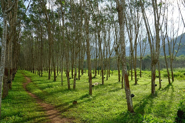 Latex Rubber Trees
